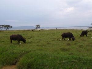 Byvoly v Nakuru