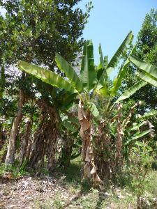 Banánovník je pomerne banálny