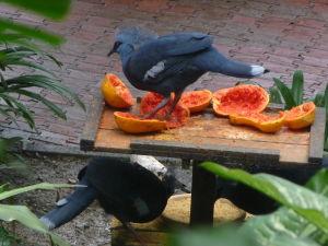 Korunáč červenoprsý (goura scheepmakeri) - Trochu prerastený druh holuba (do veľkosti moriaka)
