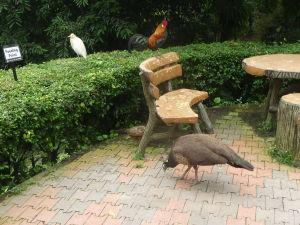 Bubulcus ibis, červená sliepka džungľová (gallus gallus) a páv