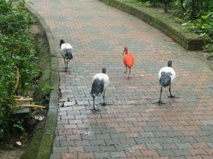 Zabte toho rudocha! Ibis červený - eudocimus ruber a ibis posvätný - threskiornis aethiopicus