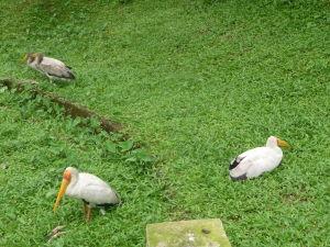 Nesyt africký (mycteria ibis) alebo aj bocian nenásytný... asi radi žerú