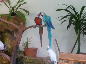 Ara chloropterus, ara ararauna a kakadu žltochocholatý (cacatua galerita)