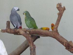 Papagáj sivý žako (psittacus erithacus), amazoňan žltohlavý (amazona ochrocephala) a to malé sú zrejme agapornisy