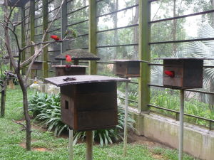 Papagáj kráľovský (alisterus scapularis), vzadu lori mnohofarebný