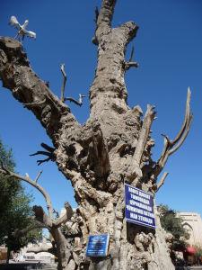 Chránený strom uprostred Lab-i Hauz