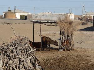 Erbent - Netuším, čo žerú tieto kravy
