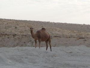 Ťavy stretnete v púšti Karakum skoro na každom kroku