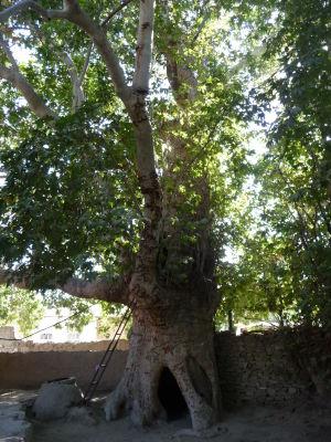 Strom Alexandra Macedónskeho