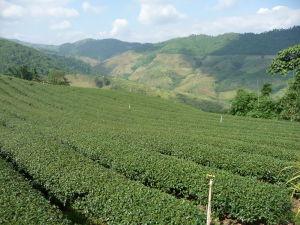 Čajové plantáže v Mae Salong