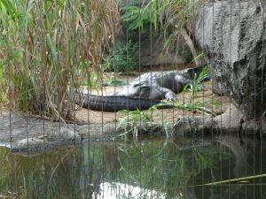 Krokodílik