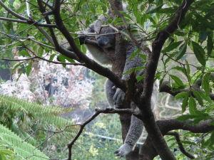Táto koala asi trošku prebrala (sa to aj rýmuje)