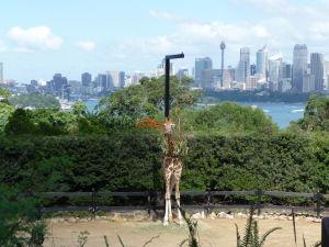 Žirafy si užívajú jeden z najlepších výhľadov na Sydney vôbec