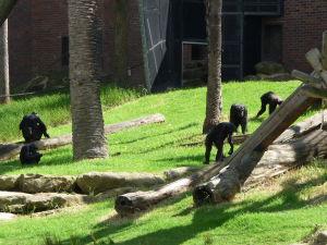 Šimpanzy