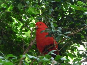 Z Austrálie pochádza mnoho druhov papagájov