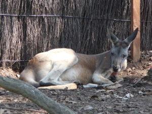 Unavený klokan