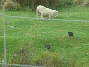 Vtáky sa pasú, ovca sa snaží imitovať a zapadnúť