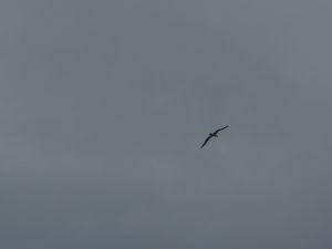Albatros prilieta z lovu