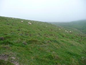 Ovce a hmla