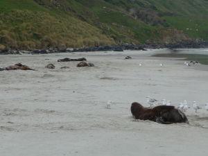 Uškatce odpočívajú na pláži