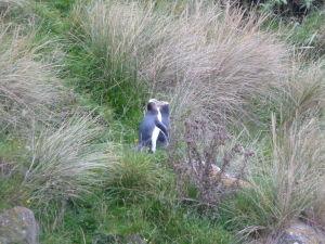 Tučniaky sa vracajú z lovu