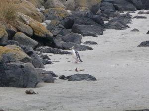 Tučniak sa vracia z lovu