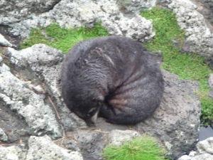 Tuleň odpočíva na skalách
