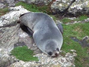 Tuleň na skalách