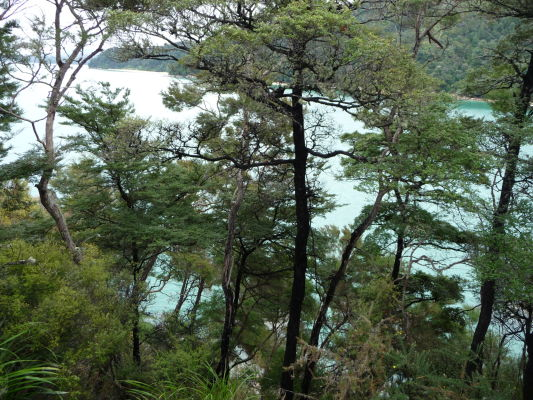 Abel Tasman NP - Na ceste po pobreží sa miestami otvárajú krásne výhľady na more - a občas nie, lebo miestne borovice sú proti