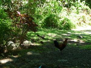 Sliepky pobehujú všade na Rarotonge
