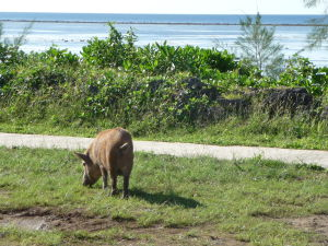 Prasce na Tonge