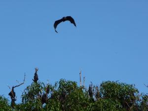 Netopiere na Tonge