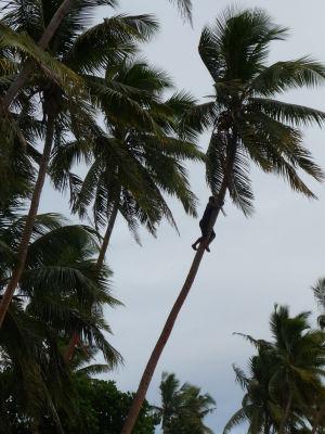 Šplhanie na palmu - Občas sa nezadarí