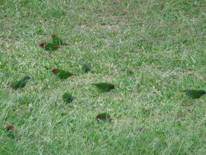 Amady fidžijské (Erythrura pealii) sa pasú pri hoteli