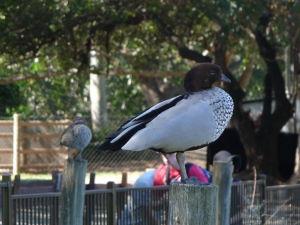 Rezervácia Lone Pine - Voľne poletujúca kačička