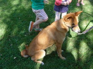 Rezervácia Lone Pine - Pes dingo