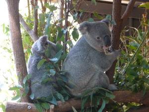 Rezervácia Lone Pine - Koaly