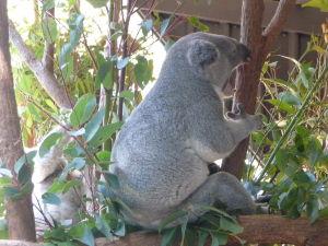 Rezervácia Lone Pine - Koala