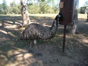 Rezervácia Lone Pine - Pštros emu