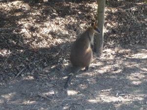 Rezervácia Lone Pine - Klokan