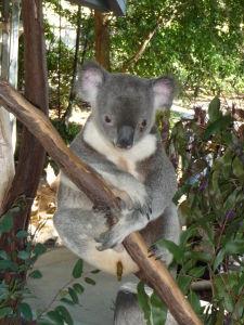 Rezervácia Lone Pine - Koala nepije vodu, vystačí si s eukalyptovými lístkami