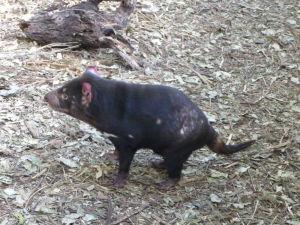 Rezervácia Lone Pine - Tasmánsky diabol - bolo ťažké urobiť ostrú fotku, ide o veľmi neposedné zvieratko