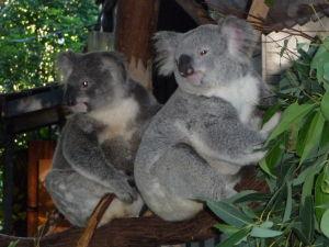 Rezervácia Lone Pine - A ešte na záver koaly