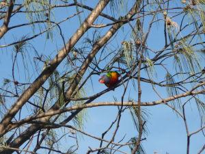 Sunshine Coast - Papagáj lori