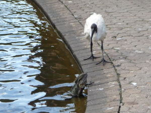 Brisbanská botanická záhrada - tomuto ibisovi sa zjavne nepáčil tento jašter