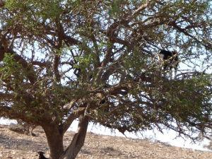 Koza na strome