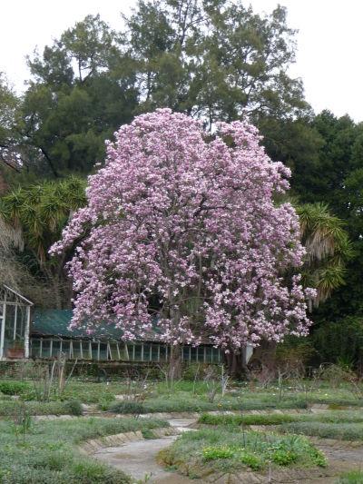 Rozkvitnutý strom v botanickej záhrade kráľovského paláca Reggia di Caserta