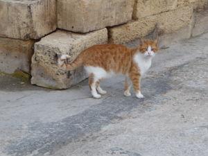 Miestny tiger na ostrove Manoel pri pevnosti