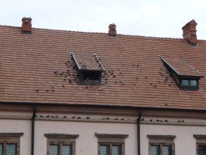 Mir si obľúbili holuby