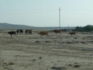 Kravy v Gobustanskom národnom parku